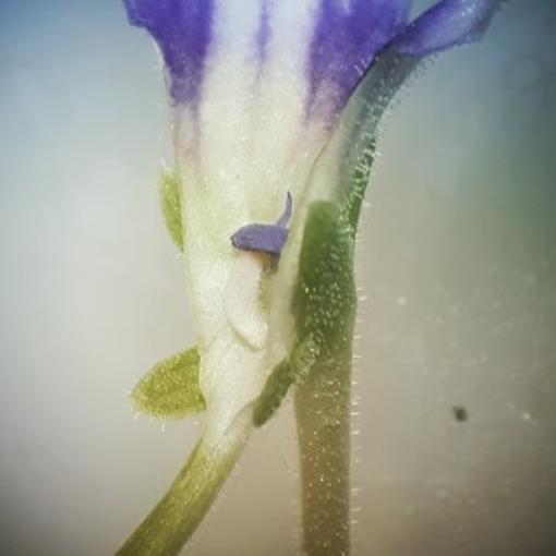Pinguicula Blütenaufbau 2/2